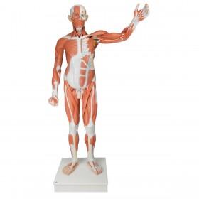 VA01_01_1200_1200_Life-size-Male-Muscular-Figure-37-part